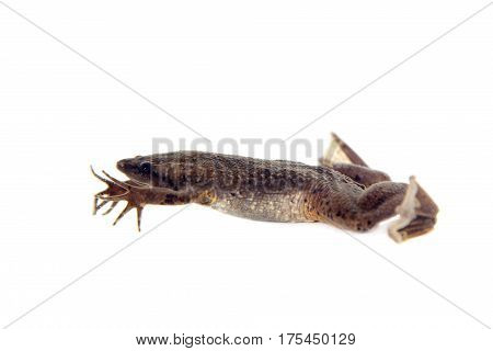 Carvalho's Surinam toad, Pipa carvalhoi, isolated on white background