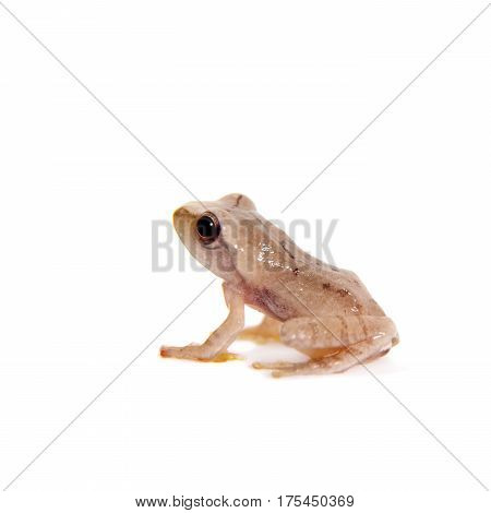 Orlov's flying frogling, Rhacophorus orlovi, isolated on white background