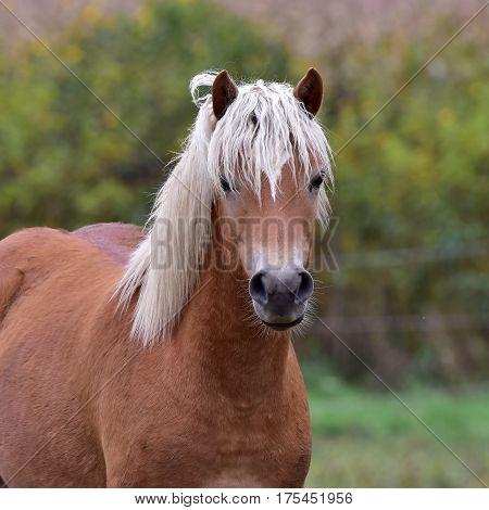 cute blonde horse looking into camera,Czech republic