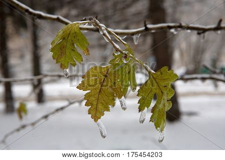 Beautiful ice drops froze on the leaves. After the icy rain. Weather phenomenon.