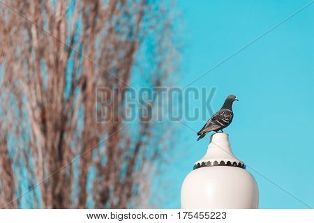 Beautiful Pigeon Sits On A Lamppost Against A Clear Sky Background
