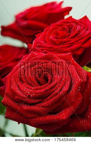 Charming scarlet fresh roses with dewdrops on petals