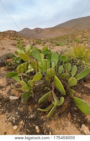 Image of  a wild fig cactus Opuntia ficus-indica in the Sous- Massa- Draa National Park near Sidi Ifni, Morocco.