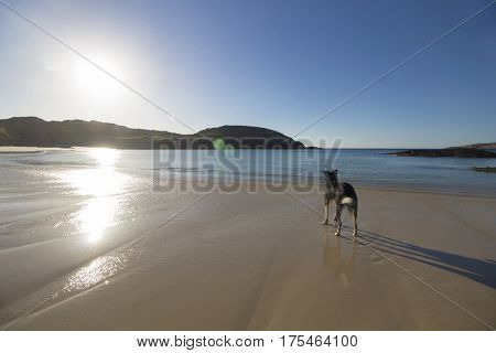 Dog staring at the sea at Achmelvich Beach, Scottish Highlands