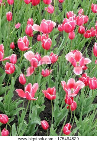 The carpet of pink tulips in spring in Kingston Canada