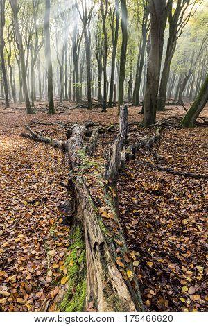 Fallen beech in beech forest in morning light near Vierhouten in Speulder en Sprielderbos.