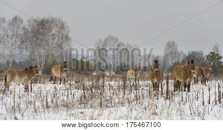 Przewalski Horses in the death zone around Chernobyl in the Ukrain in wintertime.