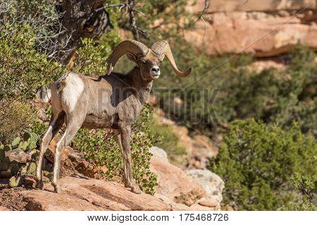 a desert bighorn sheep ram in Utah