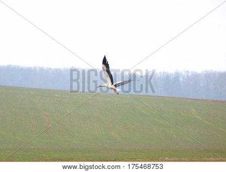 Photo of the white stork flying over a green field