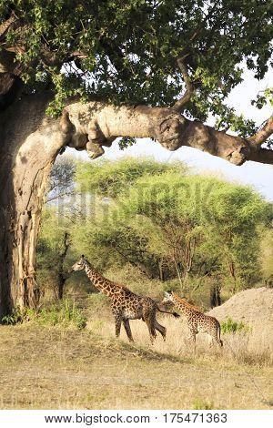 A giraffe and her baby walk under a baobab tree in Tanzania.