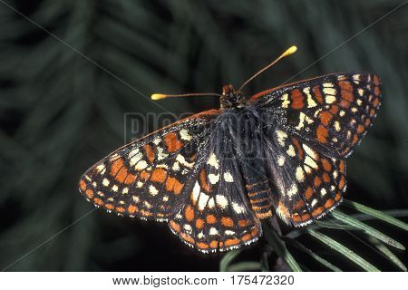 An Edith's Checkerspot Butterfly, Euphydryas editha on a branch near Mt Rainier in the Pacific northwest