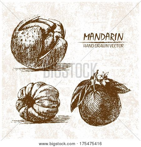 Digital vector detailed mandarin hand drawn retro illustration collection set. Thin artistic linear pencil outline. Vintage ink flat style engraved simple doodle sketches. Isolated objects