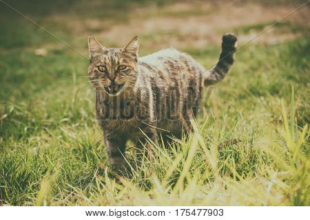 Funny tabby domestic cat walking on the green summer grass and meowing. He has bandit smile becouse of open mouth