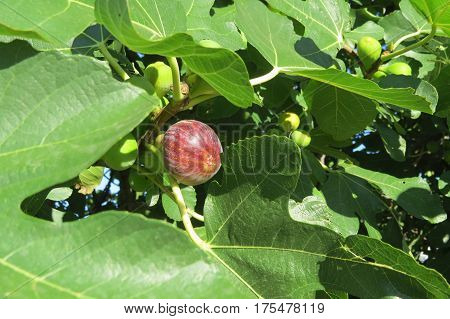 Ripening fig (maturing fig) on the fig tree in Bar-city, Montenegro