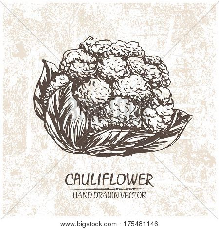 Digital vector detailed cauliflower hand drawn retro illustration collection set. Thin artistic linear pencil outline. Vintage ink flat style engraved simple doodle sketches. Isolated objects
