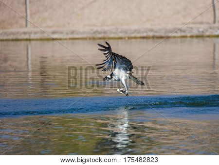 Osprey flying away with a fish in it's talons