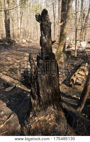 Old burned tree in woods near Gatlinburg Tennessee from November 2016 devastating fire
