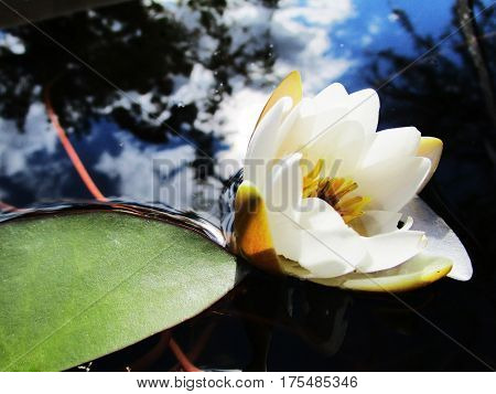 fresh flower white water lily in the bud in spring day on the lake