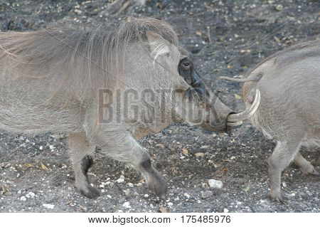 a picture of african warthogs running around
