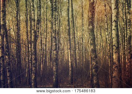 Dark moody forest with birch trees, natural outdoor vintage background