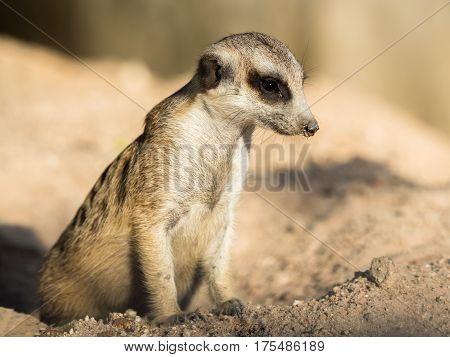 slender-tailed meerkat lives in a natural park