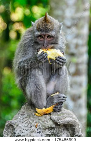 Macaque Eating Banana In Monkey Forest In Ubud, Bali