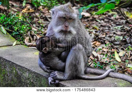 Macaque Feeding Baby In Monkey Forest In Ubud, Bali