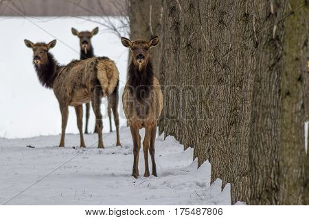 Three elk looking at the camera in an orchard near Rathdrum Idaho.