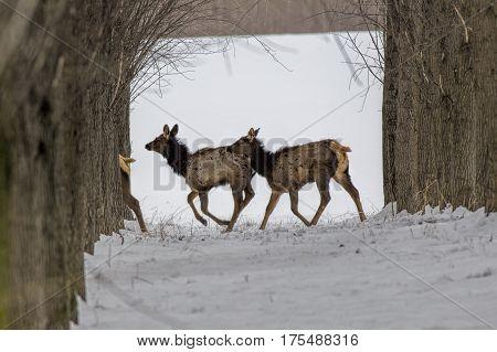 Some elk running through orchard near Rathdrum Idaho.