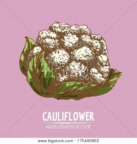 Digital vector detailed color cauliflower hand drawn retro illustration collection set. Thin artistic linear pencil outline. Vintage ink flat style engraved simple doodle sketches. Isolated objects