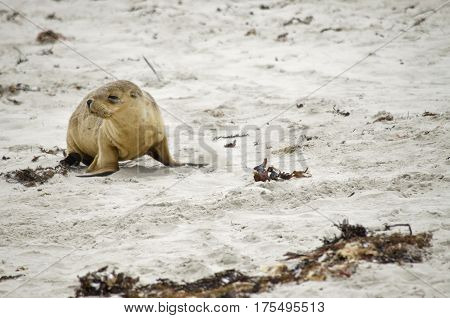 the sea lion pup is walking along the beach looking for her mother