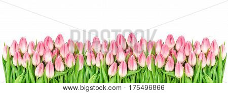 Spring tulip flowers. Floral banner. Pink blossoms isolated on white background