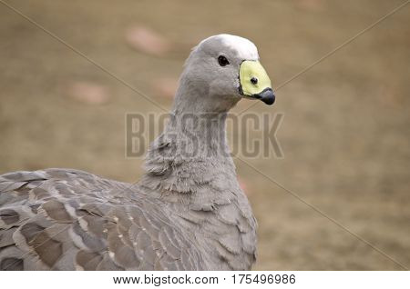 this is a close up of a cape barren goose