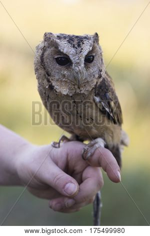 Collared Scops Owl sitting on Hand. Outdoor Shot