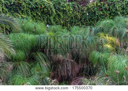 Papyrus plants in Fountain of Arethusa on the Ortygia isle - old town of Syracuse on Sicily Italy