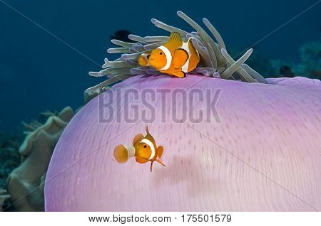 Clownfish Couple, Amphiprion Ocellaris