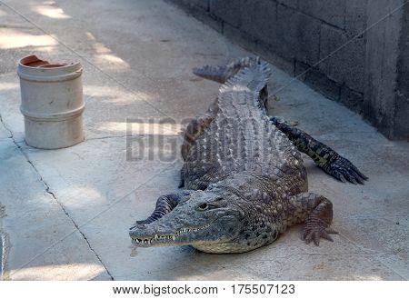 Nile crocodile in the cage (lat. - Crocodylus niloticus)