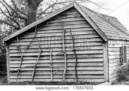 Rustic old fashioned wooden cabin with branches leaning against wall as garden stakes in black and white