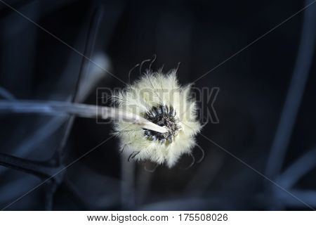 Feathery petals on a cream colored flower seen from under side dark background moody image