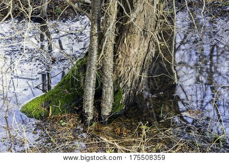Base of a tree covered with bright green moss and standing in spring thaw water