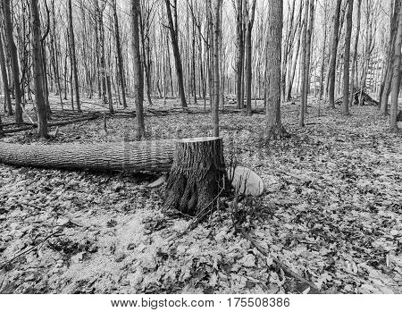 Tree freshly cut down lying on forest floor beside stump tall straight trees behind in black and white