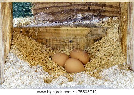 Three brown eggs freshly laid in a natural farm chicken coup hen house closeup