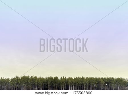 Wide open pastel colored skyscape with line of tall pine trees along bottom border tall white straight trunks background with lots of space for text