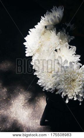 White Chrysanthemum Flower Bloom Botany