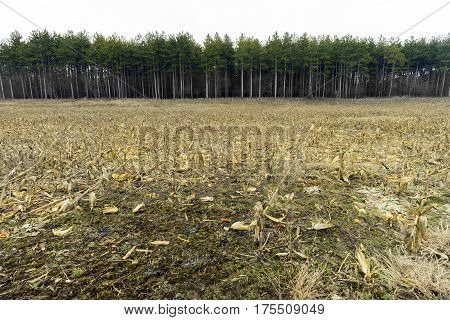 Cornfield after spring thaw muddy ground and cut stalks with tall pine trees in background