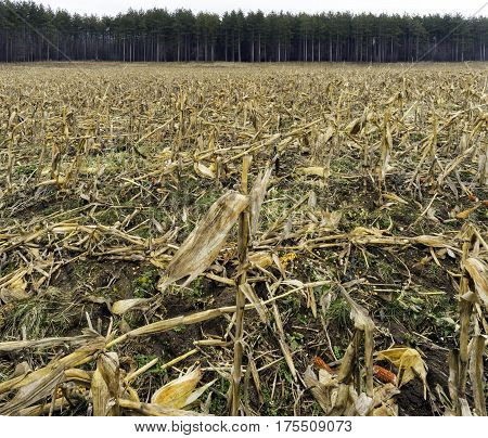 Golden harvested cornfield with leftover cut stalks ears and kernels strewn on ground tall straight pines in background