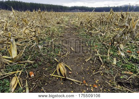 Golden harvested cornfield with low stalks and ears of corn kernels on the muddy ground pines trees in distant background