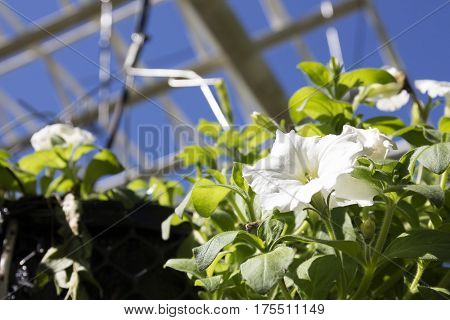 white petunia flower in pot hanging in glasshouse close up blurred white constructions on background selective focus