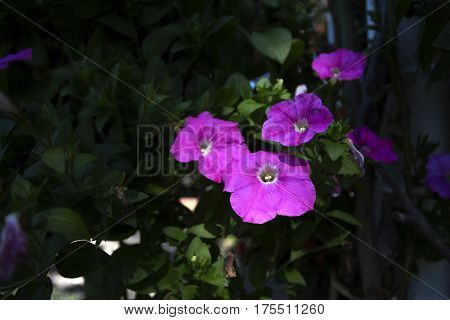 purple petunia flowers surrounded by green leaves close up selective focus blurred background