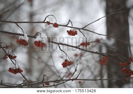 The frozen mountain ash on the branch is covered with snow. Red mountain ash and snow a bright picture on a winter day.
